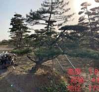 顺风园林造型油松  高1.8米 冠幅4米景观松 造型黑松 种类规格齐全造型油松 移栽时间三年