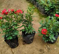 山东玫瑰供货商 荷兰多头小玫瑰大量批发