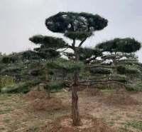 基地直销造型油松 造型油松批发 4-8m高造型油松 济南造型油松价格