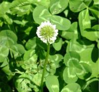 青州花卉白三叶种子报价 车轴草 发芽好