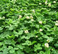 浩菲种植基地白三叶种子行情 车轴草 发芽好