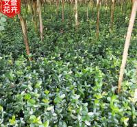 地栽黄杨 青州地栽黄杨销售 苗木高度可选