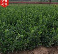 北海道黄杨供应商 订购报价 北海道黄杨苗 山东绿化苗木