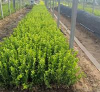 绿化用小苗 卫矛种植基地 志民 价格优惠