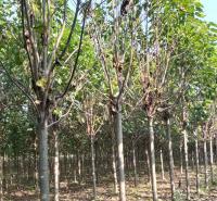 供应楸树价格 各种楸树出售