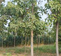 楸树基地 供应15公分楸树 货源充足