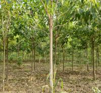 速生楸树基地 供应13公分金丝楸树