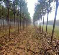 供应楸树价格 出售8公分大规格楸树