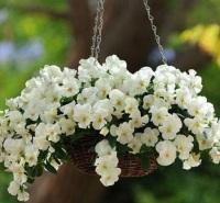 耐寒观赏盆栽三色堇  三色堇  工程绿化小苗 花坛点缀盆栽 移栽易成活