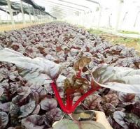 天卓红叶菠菜 价格优惠 上盆耐寒盆栽花卉