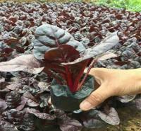 红叶菠菜种植培育 青州草花红叶菠菜 基地直销