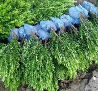 绿化工程黄杨小苗预售  根系发达 生长旺盛  订金发货 现挖先发