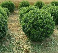 冬青球批发商 球类苗木种植基地大量供应优良冬青球