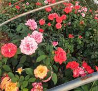绿化月季  粉色月季  大花月季出售