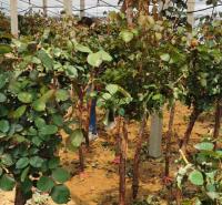 青州月季 月季树报价 御景花卉基地 观赏用月季树