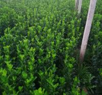 冬季常购冬青小苗  冬青小苗市场报价 冬青小苗市场分布 冬青什么时候播种
