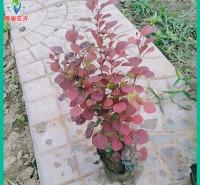 红叶小檗价格 长势好 山东红叶小檗