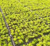 优良地被植物批发 金叶佛甲草小苗价格 佛指甲基地报价 安艺观赏型草坪栽植基地