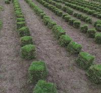 成都草坪厂家   富榛花卉草坪基地   成都草坪批发供应