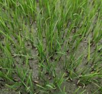 成都混播草坪厂家 富榛花卉混播草坪  成都混播草坪厂家供应