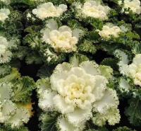 羽衣甘蓝  花坛点缀用小苗 移栽易成活  基地直供 欢迎致电梓熙花卉