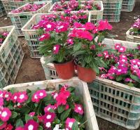 长春花  天天开小苗预售 开春发货 四季常绿有花 天天开报价