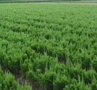 绿化用小龙柏苗 树形优美耐修剪 钰艺