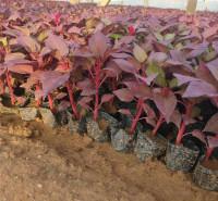 欧润 鸡冠花苗 盆栽鸡冠花 种植基地