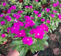 长春花小苗 峻赫花卉批售 四季常绿 有花苞  养护简单 室内观赏天天开盆栽 养护简单