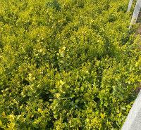 金森女贞基地预售金森女贞小苗  四家常绿灌木 多用于道路绿化 园林种植