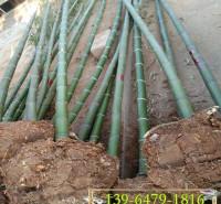 小区绿化竹子地栽苗 农户直销土球上车 高度2米左右北方竹子观赏刚竹