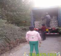 山东青州绿化围栏1公分绿化竹子苗 地栽早园竹价格 北方货源易成活