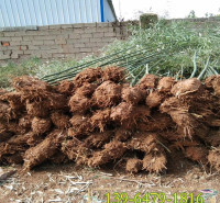 山东苗圃出售竹子苗 青竹苗四季常绿 冬天不落叶地栽绿化竹子