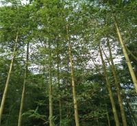 山东竹子基地 刚竹价格 翠竹现货供应 早园竹规格 江瑞园艺大量供应各种竹子 欢迎选购