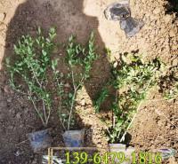 金叶水蜡营养杯苗 多分枝绿叶水蜡小苗价格 青州基地批发