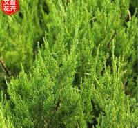 常绿绿化用 龙柏供应商 青州小龙柏批发
