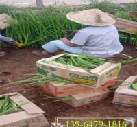 唐菖蒲盆苗 常绿鸢尾花苗销售鸢尾种子 水生鸢尾小苗批发