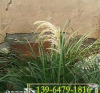 矮蒲苇种苗 绿化护坡矮蒲苇容器苗价格 各类蒲苇批发