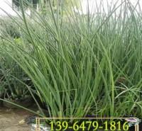 供应水生植物水葱种苗 水葱大杯苗种植 河边近水植物