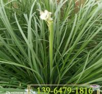 矮蒲苇带土盆苗价格 矮蒲苇小苗供应商 防止水土流失植物