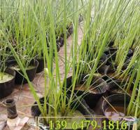 批发供应水生植物水葱种苗 多芽花叶水葱报价 景区河边绿化苗