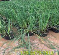 野生水生花卉青叶水葱盆苗 花叶水葱绿化用苗 池塘浅水植物
