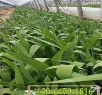 近水植物射干营养钵苗 射干鸢尾小苗价格  四川成都水生花卉基地