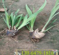 开粉花的水生植物 粉花射干容器苗 景区绿化射干花苗