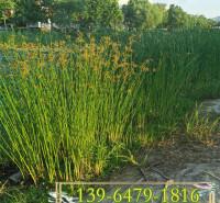供应花叶水葱营养钵苗 河道治理常用植物 水葱容器苗水生植物批发