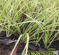 金边观赏草种植基地 金叶苔草容器苗 金边石菖蒲小苗花镜常用花