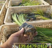 宿根花卉金叶苔草小苗 金边石菖蒲营养杯苗 水生植物观赏草