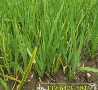 溪荪盆栽苗 山东挺水植物湿地绿化用苗 溪荪袋苗供应价格