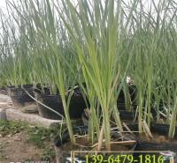青叶水葱带盆苗价格 水生系列水葱小苗 青州花卉