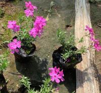丛生福禄考小苗  耐寒抗旱 基地直发  易成活 养花简单
